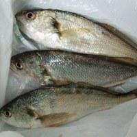 2017年1月3日 長浦港<イシモチ、アナゴ釣り>