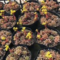 春を告げるリトルゼムの黄色い花