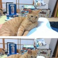 今日のつくし(茶トラ猫1歳。)