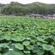 蓮の花 (岩国レンコン)