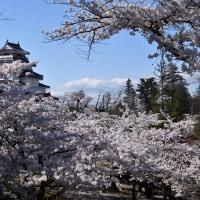 No.652 鶴ヶ城・小沢の桜
