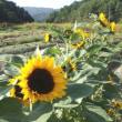 農園の花 ヒマワリ