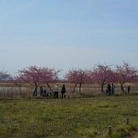 児島湖花回廊さくらまつり