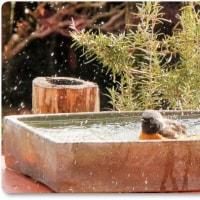 ジョウビタキ水浴び