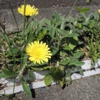 タンポポに似てる植物