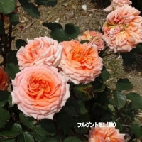 5/23花日記(響灘グリーンパークのバラフェア-3(作出国:ドイツのバラたち))
