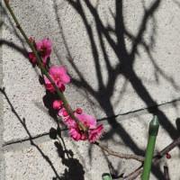 立春の候、春匂献上仕り候