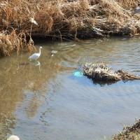 攻撃的な水鳥・逃げるサギ