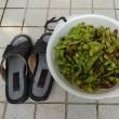 枝豆収穫 (7月27日)