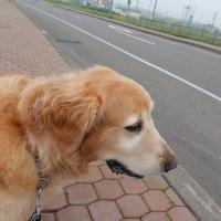 今日の薔薇&お犬様