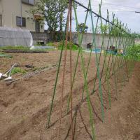 中玉トマト、定植開始
