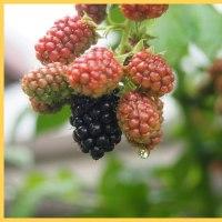 ブラックベリーの実が熟れ始めました。