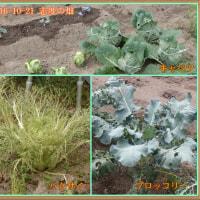 志度の畑は秋の様子になり、ソラマメとエンドウの種子を蒔いて来ました。