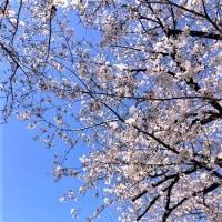 桜・・・自然の偉大さを痛感