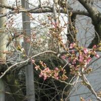 渋田川の桜