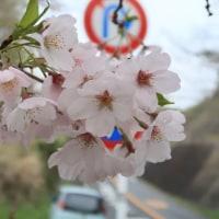 岡津古久の桜
