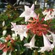 季節の花「アベリア」