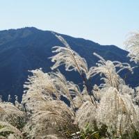 葛城山のススキ