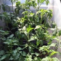 もう少しで定植できそうトマト