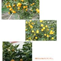 ミニ、ミニ果樹園、みんな色づいて、温州ミカンがおいしくなってきました。