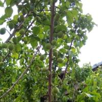 凧づくりと梅の実のふくらみ