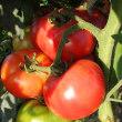 トマトが豊作です