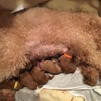 ミディアムプードル ノッコさんの赤ちゃん達 生後1週間