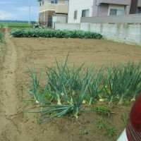 家庭菜園200坪大変ですが自分で耕作してます