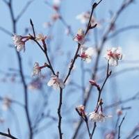 キンキマメザクラと椿桜