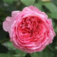 ☆やっときれい咲きプリンセス・シビル・ド・ルクセンブルグ&ここ数日の庭バラ