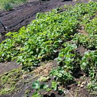 春野菜の生育状況