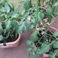 順調な野菜と悲惨な花々