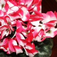 清(すが)しい花‥② 【ひで某】