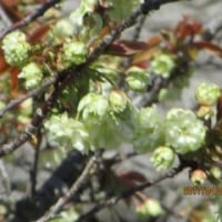 ウコン桜開花♪