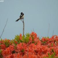 信州 霧ヶ峰のレンゲツツジと野鳥たち
