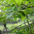 オオムラサキに会いに  Ⅲファーブルの森観察飼育舎