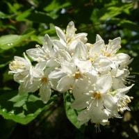 空木(ウツギ)の季節 「夏は来ぬ」