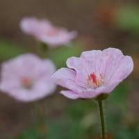 ピンクが可愛いエゾフウロ