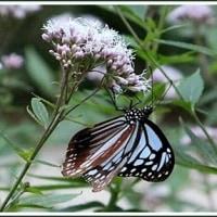 海を渡る蝶 アサギマダラ。