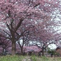 万葉公園の河津桜