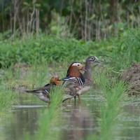 石垣島の野鳥ーオシドリほか