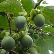 柿の実が大きくなってきた