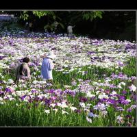 赤堀菖蒲園