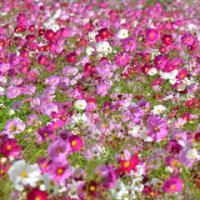 愛知牧場の秋桜