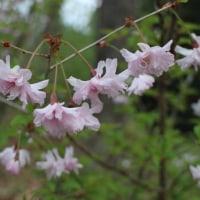 鴛鴦桜と三葉躑躅 2017
