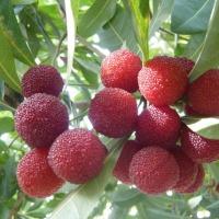 山桃の収穫