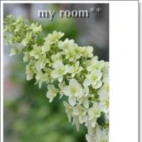 柏葉アジサイが、、咲いて、、。