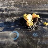 ジャガイモのマルチ使用栽培 発芽
