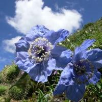 2991 俳句(罌粟の花)