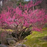 桜の前にとっとり花回廊の梅